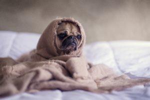 毛布にくるまったパグ犬